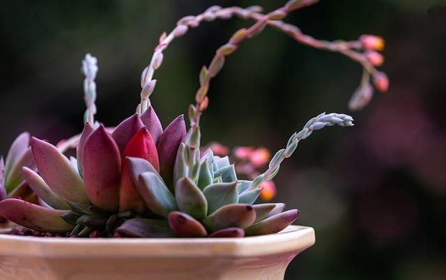 lotos flower in pot