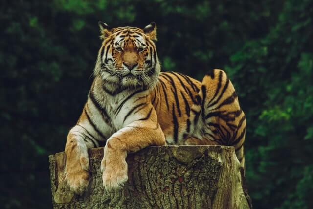 Tiger on the tree